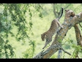 Download Video A Leopard's Story - National Geographic 3GP MP4 FLV