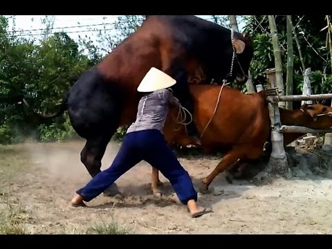 Xxx Mp4 Amazing Dangerous Powerfull Mating Cow Mating Cows ★Life Of Cows ✔ 4 3gp Sex