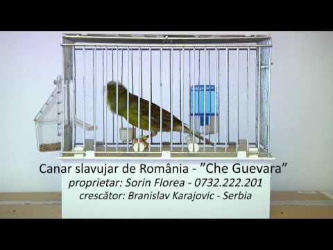 Canar slavujar de Romania Che Guevara