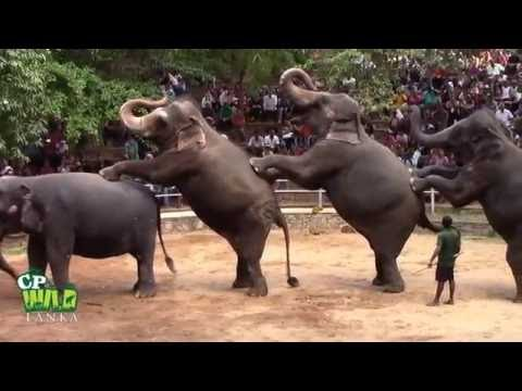 Xxx Mp4 Elephants Dance At Dehiwala National Zoo Sri Lanka 3gp Sex