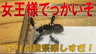 【アリ飼育観察 女王アリでっかいぞ!クロオオアリ買いました!】(くろねこアリチャンネル)