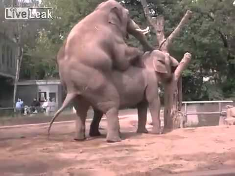 Elephant pulls out at the right time