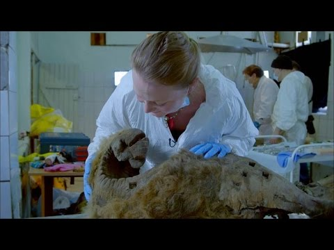 A Woolly Mammoth Autopsy Turns Frantic