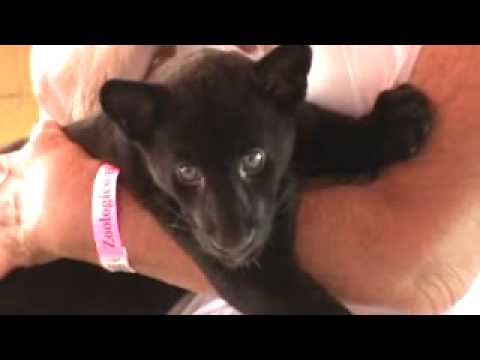 Baby Panther Breastfeeding