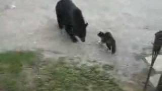 super hero cats protects family from wild bear!!!