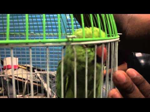 Xxx Mp4 Bangladeshi Parrot Birds Talking Letting Pet Him 3gp Sex