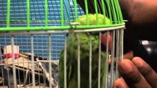 Bangladeshi Parrot birds talking & letting pet him..!