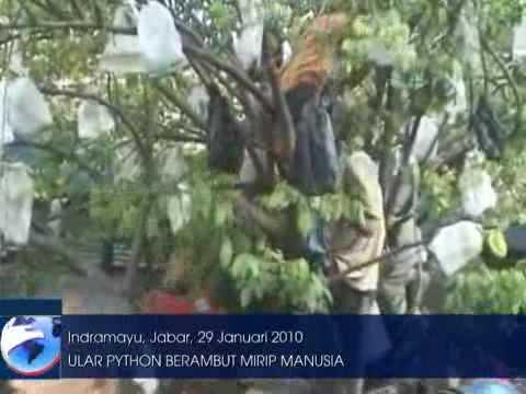 Ular Gondrong Ditemukan Di Indramayu news okezone com