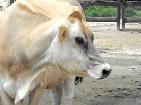 Vaca Mijona