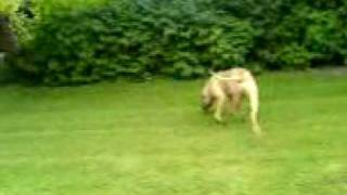 American Bulldog Ice Cube Video.3gp