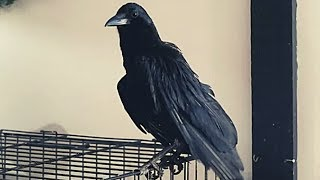 What Does A Pet Crow Do All Day?
