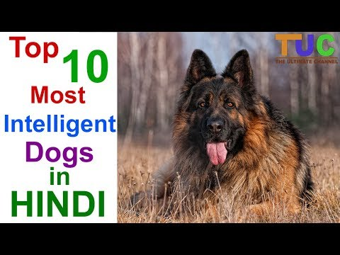 Xxx Mp4 Top 10 Most Intelligent Dog Breeds In Hindi DOGS IN HINDI THE ULTIMATE CHANNEL 3gp Sex