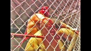 Abdullah The Butcher vs HANNIBAL - Cage Match!