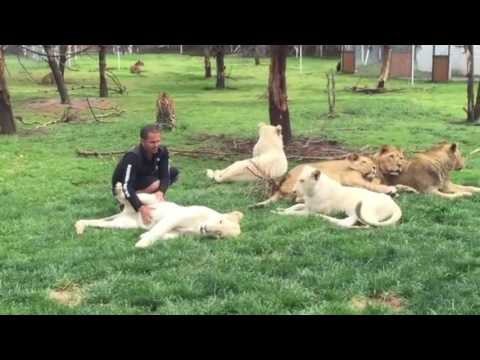 Lepord mad because white guy fucked his lion bitch