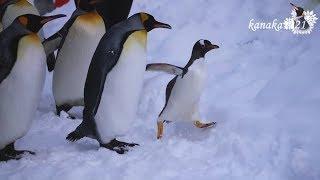 旭山動物園 ジェンツーペンギン37番1月のお散歩