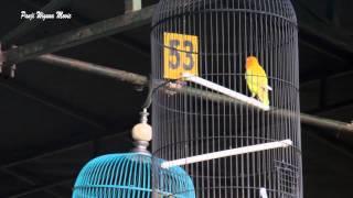 Suara Burung : Ngekek 3 Menit Bikin Roro Di Tawar Sampai 450 Juta Download Mp3 Mp4 3GP HD Video