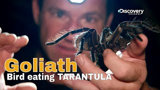 Goliath bird eating tarantula - Fierce