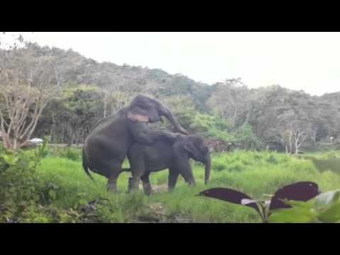 Xxx Mp4 Elephants Mating At Patara Elephant Farm 3gp Sex