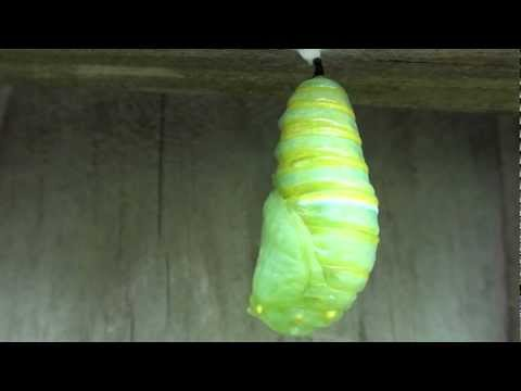 Monarch Butterfly Transformation Caterpillar to Chrysalis