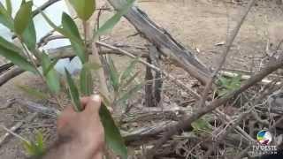 a cura das dores na coluna  e câncer de próstata através do chá de jaramataia - Apodi