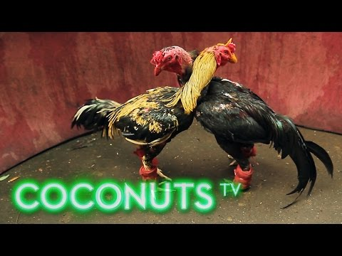 Kind or Cruel Animal Combat in Thailand Cockfighting Part 1 Coconuts TV