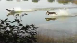 Tiger hunting deer in water at Ranthambhore national tiger reserve