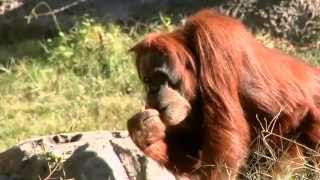 Orangutan Copy Cats - Science Nation