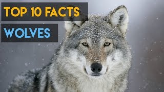 10 Interesting Facts about Wolves