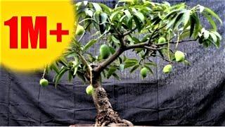 आम के पौधे से बोंज़ाई पेड़ कैसे तैयार करें - आपकी फरमाइश -AAM KE PAUDHE SE BONSAI KAISE TAIYAR KAREIN