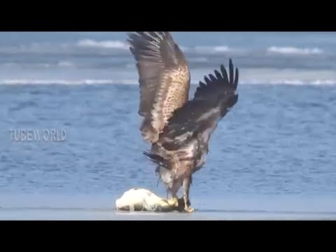 Power of Eagle Hunting Catching Fish & Bird