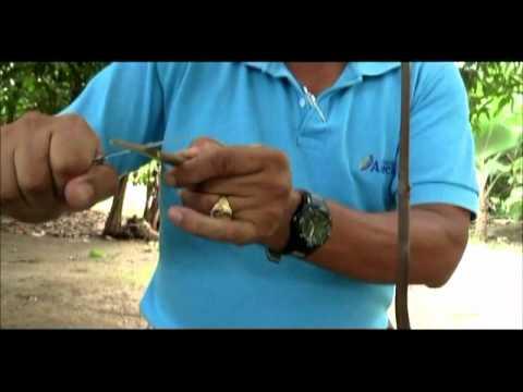 Como realizar un injerto en plantas de Cacao ANECACAO