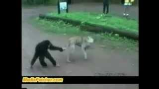 Monkey Teasing  Dog
