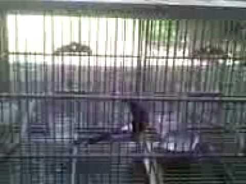 Penjodohan murai batu gunakan BirdMature ala Black Bird Keeping