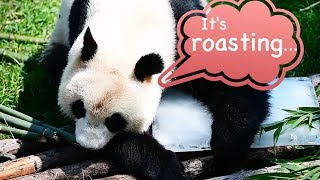 How to stay cool in hot summer? Take some tips from pandas