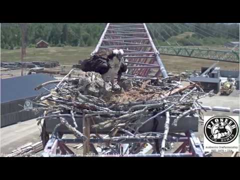 7/11/17.. PLH Osprey Cam ~ Going For A Ride