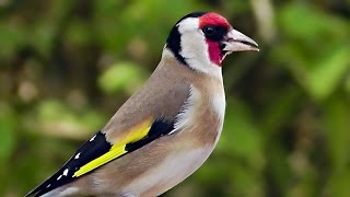 Relaxing Birds And Goldfinch Bird Song - Goldfinches Singing For Woodland Wilf Download Mp3 Mp4 3GP HD Video