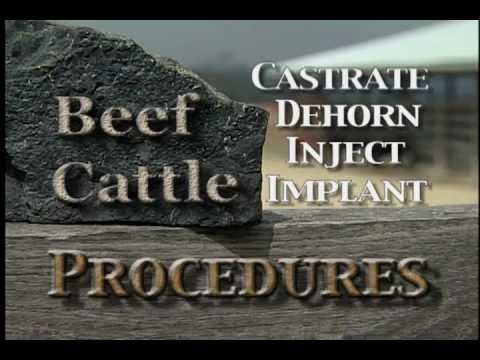 Beef Cattle Procedures.mov