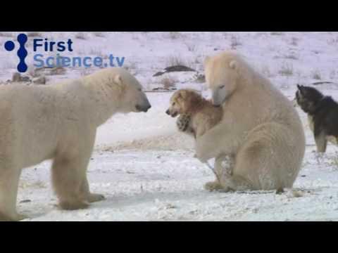 Xxx Mp4 Polar Bears And Dogs Playing 3gp Sex