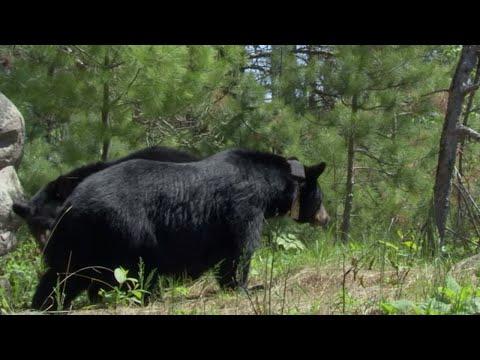 Xxx Mp4 Intimate Black Bear Mating Scene BBC Earth 3gp Sex