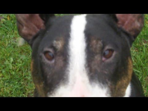Xxx Mp4 XXXXXXX English Bull Terrier Badger Bailey 3gp Sex