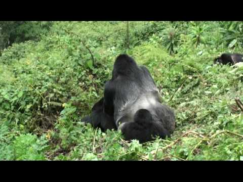 Xxx Mp4 Mountain Gorillas Have Sex On Slope Young Watch Then All Feed Volcanoes NP Rwanda 3gp Sex