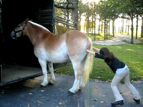 حصان مدلع مايبي يركب