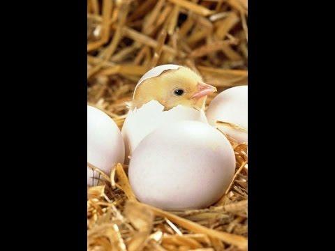 Как вывести цыплят из яйца в домашних условиях