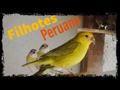 canario peruano