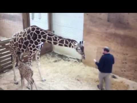 APRIL THE GIRAFFE PROTECTS BABY KICKS VET IN THE NO NO SQUARE