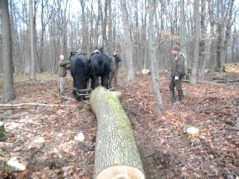 2012 11 28 rönkhúzás az erdőn 034