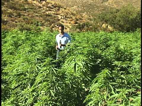 Ejército destruye plantíos de Marihuana en Tecate