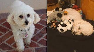 Dog Depressed Over Loss of Puppies Treats Stuffed Animals Like Her Children