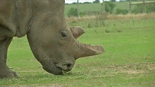 IVF for white rhinos