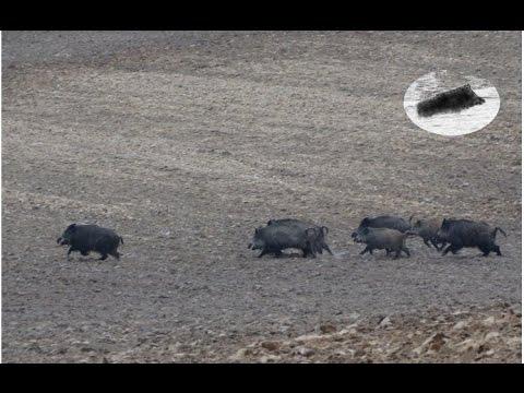 Wild Boar hunting best moments compilation. Polowanie zbiorowe na dziki najlepsze momenty